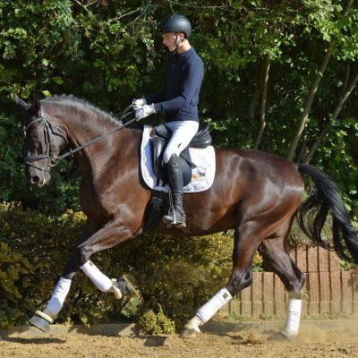 LEEROY Q 400x400 - Sportpferde