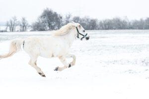 DSC 4911 300x200 - Galerie: Schulponys im Schnee